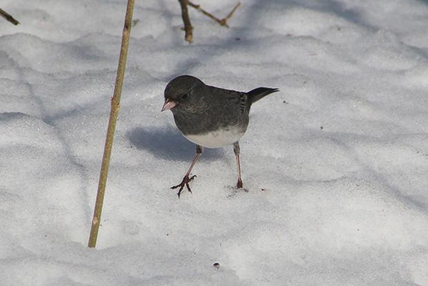 Dark-eyed Junco in the snow